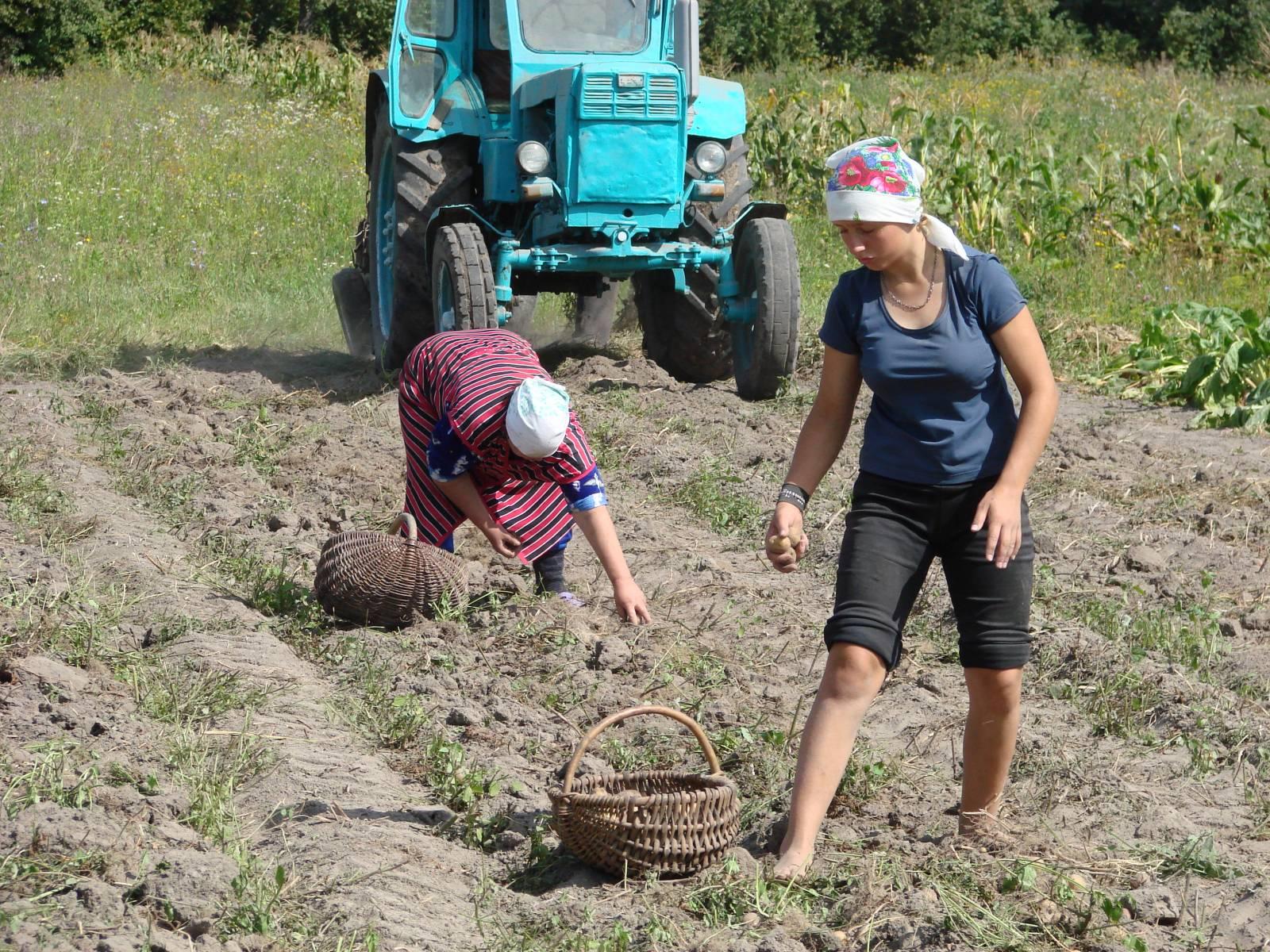 Девушка копает картошку фото